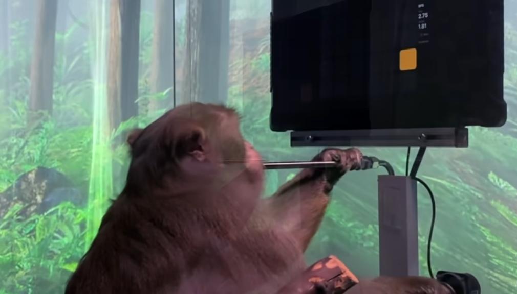 """Makaken-Affe spielt """"Pong"""" mit seinem Gehirn"""